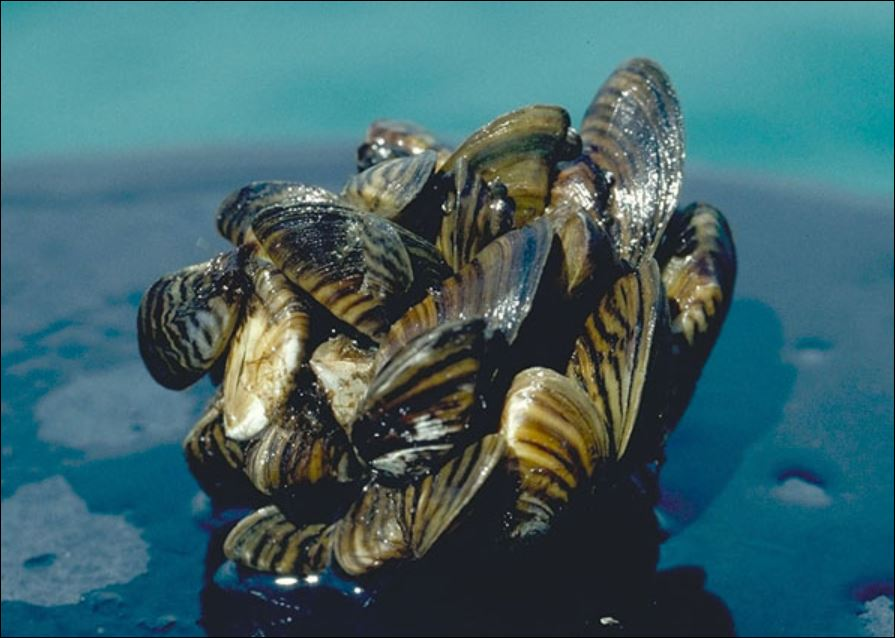Video Outlining the Threat of Mussels in BC